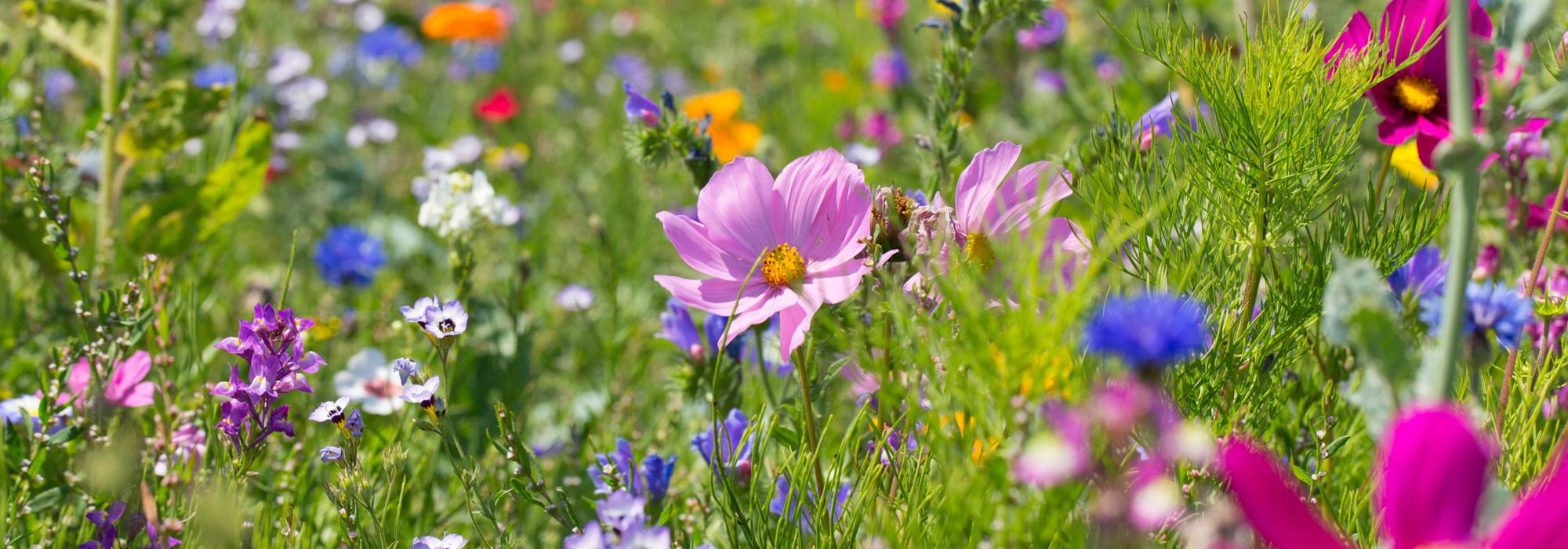 Blühwiese auf dem Gut Wulksfelde