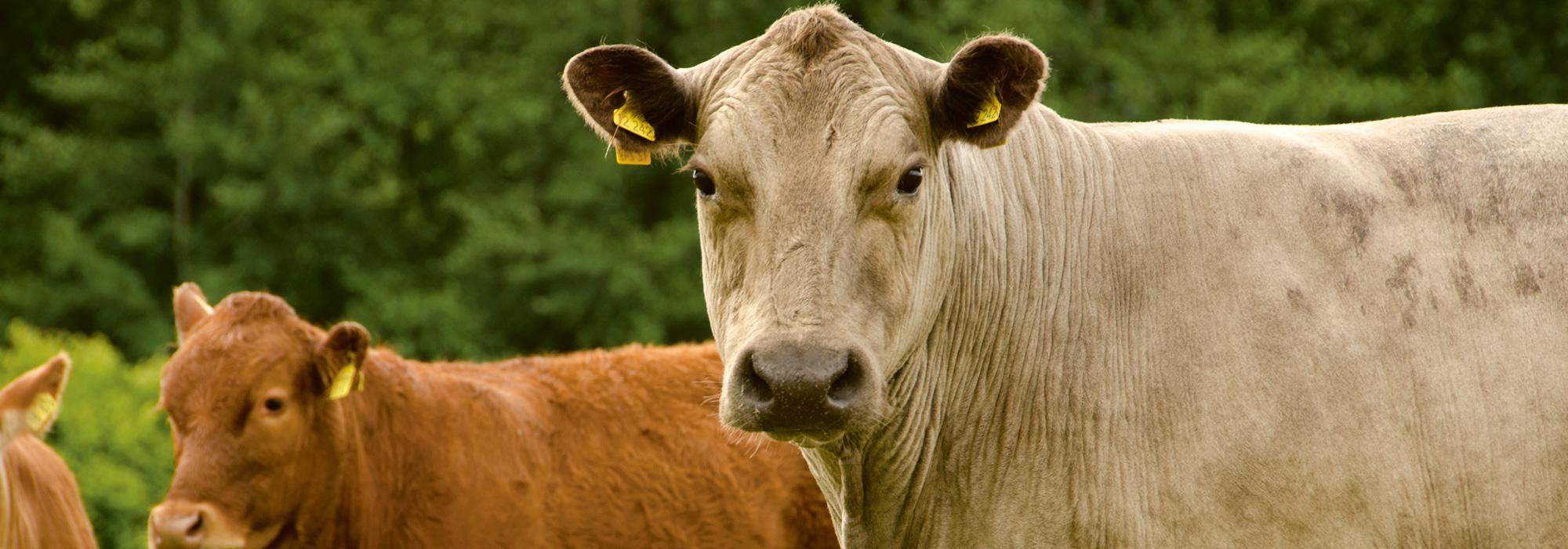 Rinder auf der Weide auf dem Gut Wulksfelde
